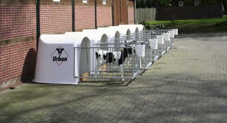 Intretinerea vitelor in custi individuale amplasate in afara adapostului