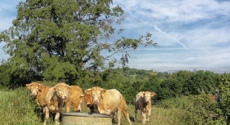 Consumul de apa la vaci
